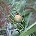 Goldcrest (Regulus regulus) - Seaton Wetlands, Seaton, Devon - Aug 2018