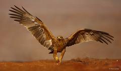 Tawny Eagle - Aquila rapax -9035 (Theo Locher) Tags: tawnyeagle vogels mkuze zimanga zimangagamereserve southafrica zuidafrika copyrighttheolocher birds vögel oiseaux aquilarapax roofarend