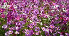 Two thousand billion galaxies and us (Ciceruacchio) Tags: flowers fiori fleurs cosmos fioridell'universo universe univers universo galaxy galaxie galassia pessac france francia frankreich nikond750
