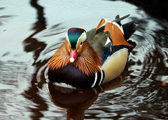 The mandarin duck (irio.jyske) Tags: mandarinduck mallard animal bird animalphotographer animalphotograph humblelook brook nature naturephoto naturepictures naturephotograph naturepic naturephotographer naturephotos naturescape naturepics natural autumn water beauty beautiful