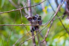 Petite scène de la nature (alain_did) Tags: papillons insectes nature naturallight natural naturelover naturepics naturephoto beautyinnature fourmi amazonie amazonia guyanefrancaise bokeh