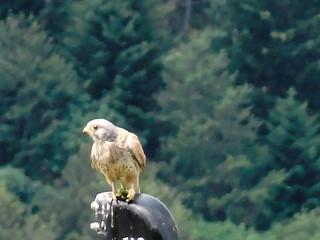 Faucon des Pyrénées