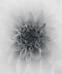 Dahlia (Funchye) Tags: dahlia georgine nikon d710 105mm bnw blackandwhite monochrome