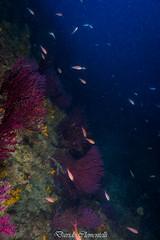IMG_1302 (davide.clementelli) Tags: diving dive dives padi immersione immersioni ampportofino portofino liguria friends amici underwater underwaterlife sottacqua