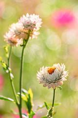 Sunlit (mclcbooks) Tags: flower flowers floral strawflowers denverbotanicgardens colorado