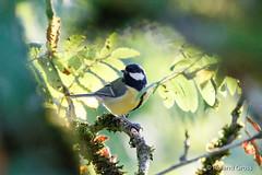 Kohlmeise 21 (rgr_944) Tags: vögel vogel bird oiseau tiere animaux animals natur outdoor canoneos80deos7dmk2eos5dmk4 rgr944 tier animal wildlife