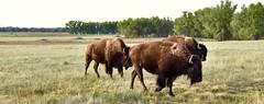 Colorado Bison (Chamblin1) Tags: bison buffalo plaines autumn colorado