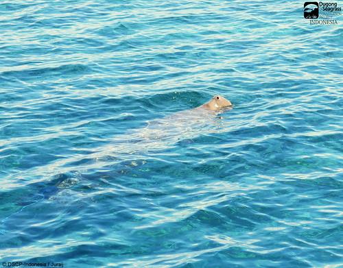 Dugong 's Breathing