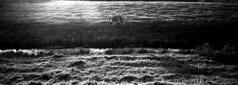 Shiny Shetland (selyfriday) Tags: selyfriday wwwnassiocomempty nassiocom xpan hasselblad film 35mm analogue wide panorama 45mmf4 kentmere400 kentmere rodinal 125 75minutes 20˙c netherlands nederland holland zaandam shetland pony shiny e vening field polder sloot grazing