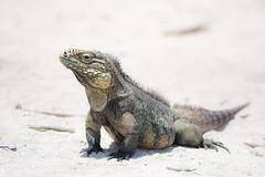 Iguana on Cayo Iguana, Cuba