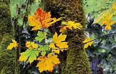 Rainwood   Autumn (blacky_hs) Tags: rainwood autumn forest wald regenwald kanada vancouver island maple leaf herbst laub color stamp falls alberni port ahorn
