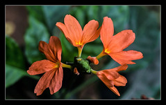 """Plant your own garden and decorate your own soul, instead of waiting for someone to bring you flowers."" (Ramalakshmi Rajan) Tags: flower inmygarden firecracker flowers orange nikon nikond750 nikkor24120mm"