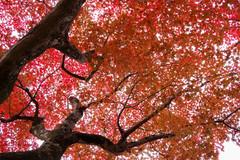 Under Nature's Veins (arbivi) Tags: autumn fall foliage koyo momiji japanese maple tree red orange kyoto japan canon 60d tamron arbivi raymondviloria