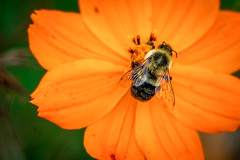 Bee Feeding on a Flower (John Brighenti) Tags: photography sony alpha a7rii ilce7rm2 sel70300g rockville md maryland autumn fall outdoors twinbrook bee bzz insect macro close orange green flowers petals bokeh zoom