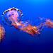 Medusa, Monterey Aquarium, California