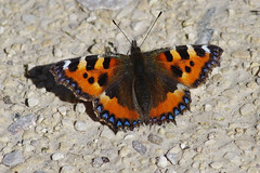 IMGP0194c Small Tortoiseshell, Leighton Moss, September 2018 (bobchappell55) Tags: wild nature wildlife rspbleightonmoss lancashire smalltortoiseshell aglaisurticae