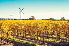 Windmills in Riverland vineyard (spotandshoot.com) Tags: australia murray riverland sustainable technology valley agriculture alternative australian autumn country countryside crop cultivated eco farmland field fruit future generation grape growth harvest industry making nature organic outdoors plant power region renewable resources ripe row rural scene scenic season supply tourism travel vacation vibrant vine vineyard windmill wine winery yellow adelaide sa