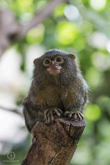 The Stare of a Monkey (kristianoosterveen) Tags: callithrix cebuella pygmaea dwergzijdeaapje dwergoeistiti monkey aap aapje dier primaat primate pygmy marmoset klauwapensoort klauwaap klauw zuid amerika south america artis netherlands amsterdam the holland north nederland noord city zoo dierentuin stadsdierentuin stad beest animal tak branch sitting cute schattig klein small lief groen bruin green brown wit white sweet macro bokeh macrofotografie photography claw tiny stare staren deep focus