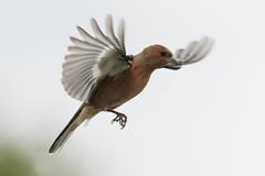 Pinson A7300865_DxO (jackez2010) Tags: ilce7m3 fe100400mmf4556gmoss bif birdinflight pinsondesarbres