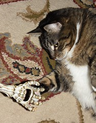 """Give Me Five - Mr. Bones"" (dlv1) Tags: tabby chat gato tiger skeleton hand"