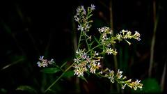 Out Of The Shadows (Bob's Digital Eye) Tags: bobsdigitaleye canon canonefs55250mmf456isstm dark flowers sep2018 shadows t3i wildflowers flickr flicker