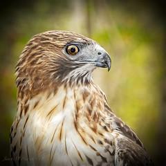 Max (jmhutnik) Tags: hawk broadwingedhawk feathers beak threeriversaviancenter westvirginia hinton