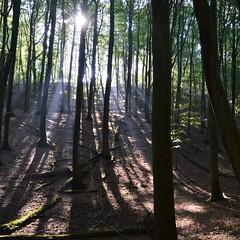 Buchenwald (John G. Wendler) Tags: mecklenburgvorpommern rügen nationalparkjasmund buchenwald flowerstreesfoliage