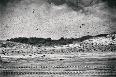 Gathering Storm (delmarvajim) Tags: digitalart digitalprocessing digitaleffects digitalpainting fineart beach bw blackandwhite monochrome birds swarm drama texture sanddunes clouds
