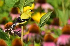 GoldfinhMaleLooksRight1 (Rich Mayer Photography) Tags: goldfinch finch finches bird birds avian nature wild life wildlife animal animals fly flying flight nikon