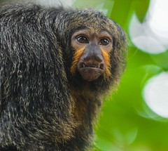 Saki (pguiraud) Tags: saki sakiàfaceblanche singes monkeys macacos singesdamazonie sergeguiraud jabiruprod amazonie amazonia amazone animauxdamazonie