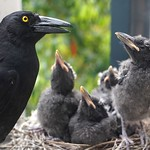 Currawong chicks looking a bit surly thumbnail