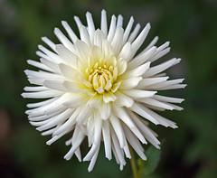 Late bloom (yamahagarn) Tags: northernireland nationaltrust mountstewart