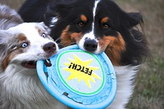 Throwback Thursday (janecumming33) Tags: dogs playing frisbee