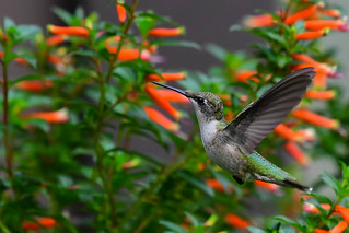 humming bird magic