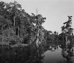 Swamp cypress (Mad__Max) Tags: mamiya mamiya6 kodak tmax louisiana america bayou