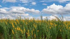 Field Of Sunn Hemp (Richard Melton) Tags: sunn hemp madison alabama farm field
