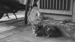 台中,街角遇見貓 (Eternal-Ray) Tags: leica m10 & rf carl zeiss sonnar 50mm f15 貓的視界 monochrome