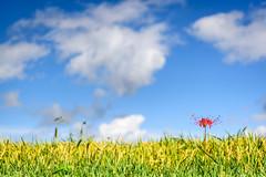 ヒガンバナ 2018 #2ーRed spider lily 2018 #2 (kurumaebi) Tags: yamaguchi 秋穂 山口市 nikon d750 nature landscape 花 ヒガンバナ 彼岸花 flower red spider lily