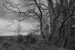 Dead Ohia (Geographer Dave) Tags: bw blackandwhite ohia metrosiderospolymorpha sod suddenohiadeath kipukapuaulu birdpark hawaiivolcanoesnationalpark october2018 hvnp