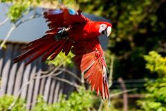 Red and Green Macaw, Rosé in Flight : ベニコンゴウインコのロゼの飛翔 (Dakiny) Tags: 2018 autumn october japan kanagawa yokohama asahiward park city street outdoor zoo yokohamazoologicalgardens zoorasia creature animal bird bokeh nikon d750 sigma apo70200mmf28exdgoshsm sigmaapo70200mmf28exdgoshsm