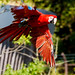 Red and Green Macaw, Rosé in Flight : ベニコンゴウインコのロゼの飛翔