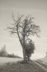 (kuuan) Tags: voigtländerheliarf4515mm manualfocus mf voigtländer 15mm aspherical f4515mm austria ricohgxrm superwideheliar mostviertel tree contrejour autumn bw monochrome birnenbaum mostbirnbaum