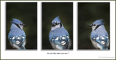 Geai bleu / Blue Jay / Cyanocitta cristata (FRITSCHI PHOTOGRAPHY) Tags: geaibleu bluejay cyanocittacristata