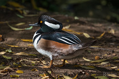 Hooded Merganser Drake (Lophodytes cucullatus) (Don Dunning) Tags: animals birds california canon7dmarkii canonef100400mmisiiusm duck goldengatepark hoodedmerganser lophodytescucullatus merganser sanfrancisco stowlake unitedstates