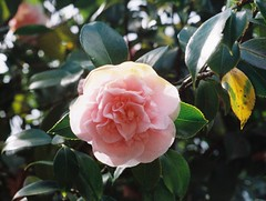 Camellia flower (Matthew Paul Argall) Tags: minolta110zoomslrmarkii manualfocus 110 110film subminiaturefilm lomographyfilm 200isofilm flower flowers plant plants pinkflowers grainyfilm