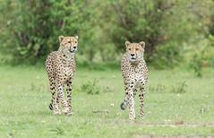 Cheetah's - Acinonyx jubatus (rosebudl1959) Tags: 2017 kenya masaimara zebraplains cheetah fastfive november