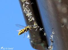 Guêpe voleuse de casse-croûte 😉 (Jean-Daniel David) Tags: nature insecte insectevolant guêpe fourmi vol toile rayure volstationnaire cassecroûte voleuse bleu ciel closeup grosplan yverdonlesbains vaud suisse suisseromande