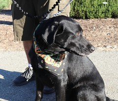 Charcoal (Webfoot5) Tags: dog dogs dogsonwalks dogzonwalkz labradormix