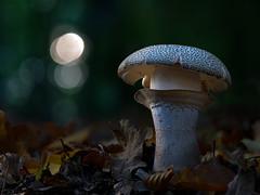 nightly shroom (Olaf Traumflieger) Tags: perlpilz night nacht taschenlampe flashlight amanita rubescens