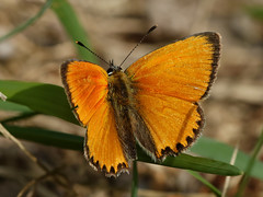 F36A0260 ZS DMap retouched_DxO_2880 (solkatt64) Tags: butterfly insects nature macro